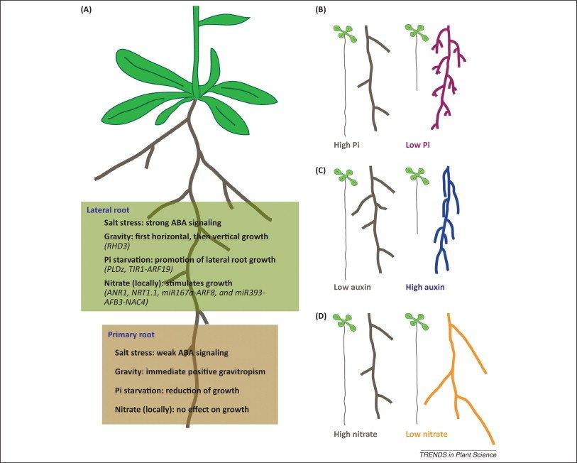shaping roots salt stress.jpg