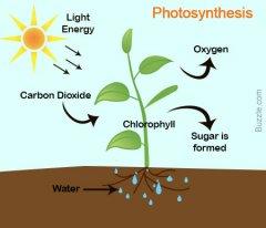 photosynthesis basic graphic.jpg