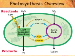 photosynthesis overview graphic.jpg