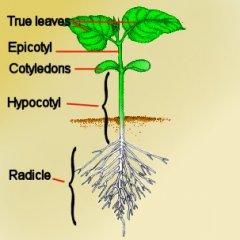 seedling_bean.jpg