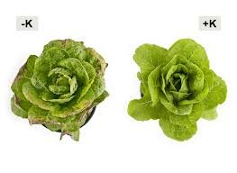 K defiency in lettuce.jpg