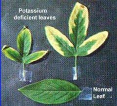 potassium1-1 deficience.jpg