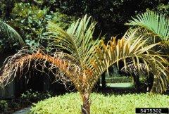 K defiency in palms 2.jpg