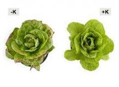 K defiency in lettuce.jpg