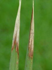 K defiency in rice.jpg
