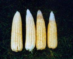 Potassium deficiency - maize corn.JPEG