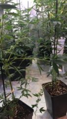 cannabis HpLVd photo 2.jpg