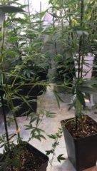 cannabis HpLVd photo 2.jpg